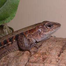 Whip Tailed Lizard (Cnemidophorus tigris)