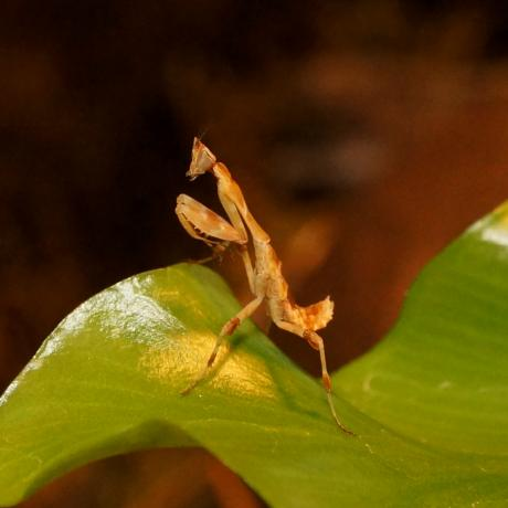 African Flower Mantis
