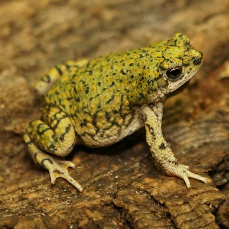 Western Green Toad