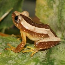 Banded Banana Frog (Afrixalus fulvovittatus)