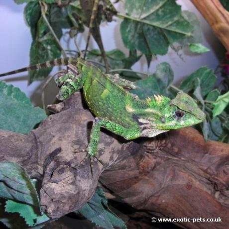 Forest Tree Dragon Gonocephalus Kuhlii
