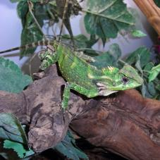 Forest Tree Dragon (Gonocephalus kuhlii)