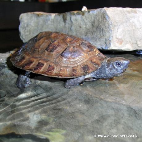 Sumatra Leaf Turtle