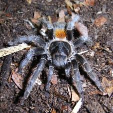 Chile Flame Tarantula (Euathlus sp.