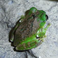 Vermiculated Tree Frog (Leptopelis vermiculatus)