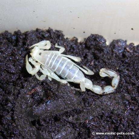 Chilean Desert Scorpion