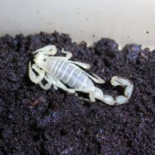 Chilean Desert Scorpion (Brachistosternus species)