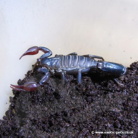 Atacama Red Pygmy Scorpion