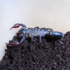 Atacama Red Pygmy Scorpion (Caraboctonus keyserlingi)