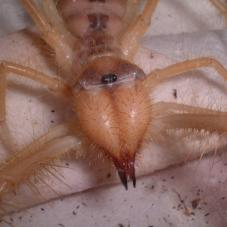 Camel Spiders - Don't they look horrible! photo