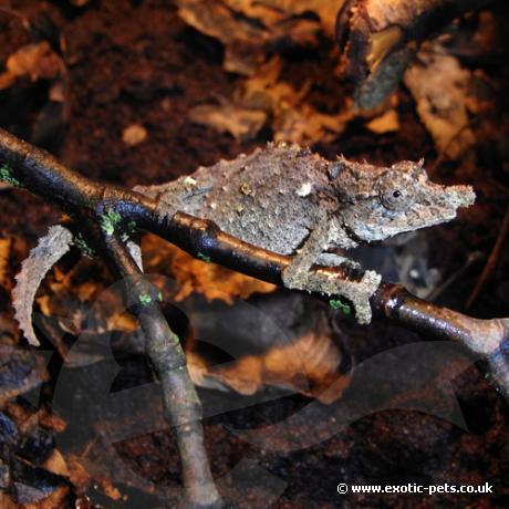 Nguru Pygmy Chameleon