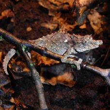 Nguru Pygmy Chameleon (Rhampholeon acuminatus)