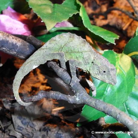 Green Pygmy Chameleon