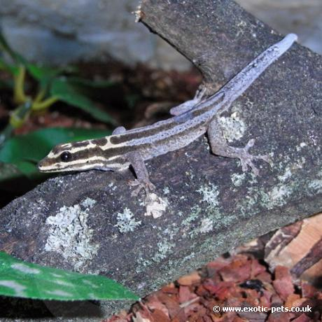 Kim Howells Dwarf Gecko