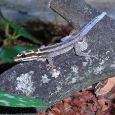 Kim Howells Dwarf Gecko (Lygodactylus kimhowelli)