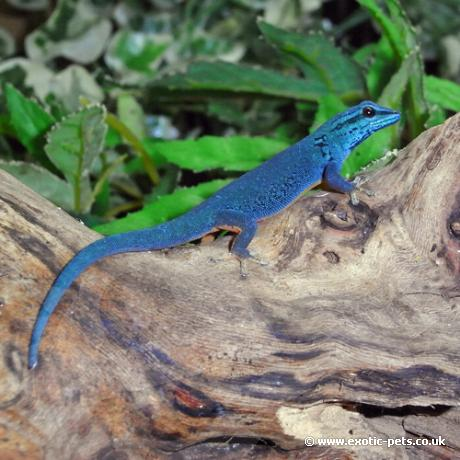 the gallery for gt blue giant day gecko