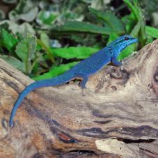 Turquoise Dwarf Gecko (Lygodactylus williamsi)
