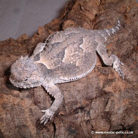 Desert Horned Lizard flattening itself - Desert Horned Lizard