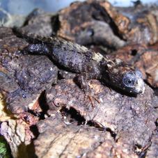 Crocodile Skink (Tribolonotus noveaguinae)