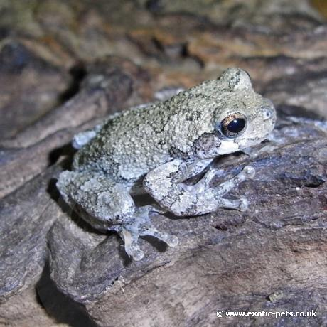 Gray tree frog - photo#27