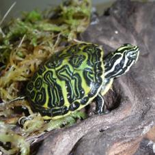 Red Bellied Turtle (Pseudemys nelsoni)