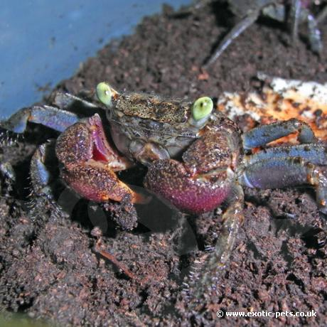 Barbados Vampire Crab - Epulotheres sp