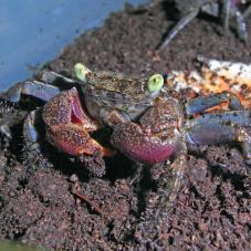Barbados Vampire Crab (Epulotheres sp)