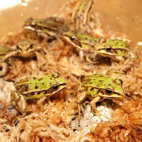 European Pool Frog