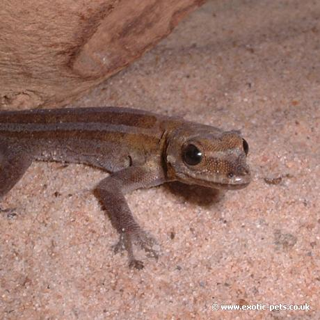 Angulated Dwarf Gecko posing for the camera