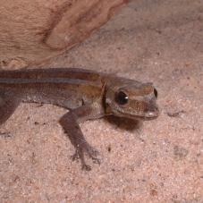 Dwarf Angulated Painted Gecko (Lygodactylus angularis)