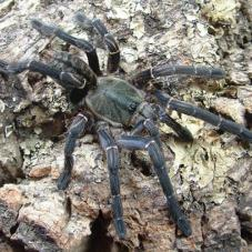 Asian Chevron (Haplopelma vonwirthi)