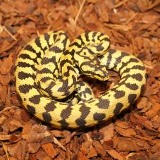 Carpet Python (Morelia spilota)