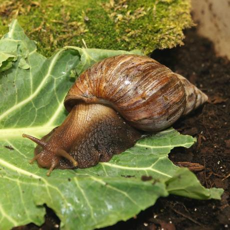 African Land Snails