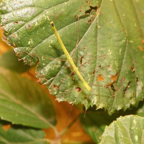 Peleng Stick Insect
