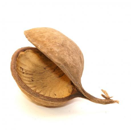 Exotic Pets Buddha Nuts