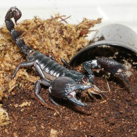 Laos Forest Scorpion