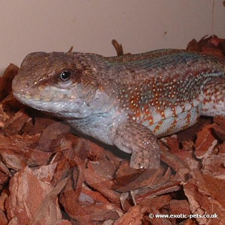 Jewelled Curly Tailed Lizard