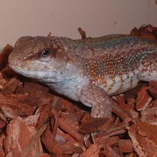 Jewelled Curly Tailed Lizard (Leiocephalus personatus)