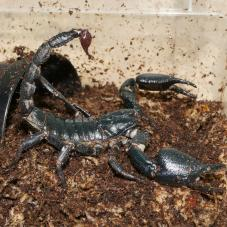 Blue Forest Scorpion