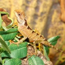 Green Mountain Horned Dragon (Acanthosaura lepidogaster)