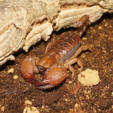 Shiny Burrowing Scorpion (Opistophthalmus glabrifrons)