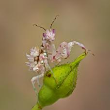 Spiny Flower Mantis (Pseudocreobotra ocellata and wahlbergii)