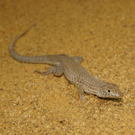 Leopard Fringe Fingered Lizard