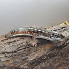 Yellow Linned Plated Lizard