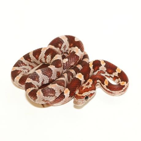 Corn Snake - Pantherophis guttatus