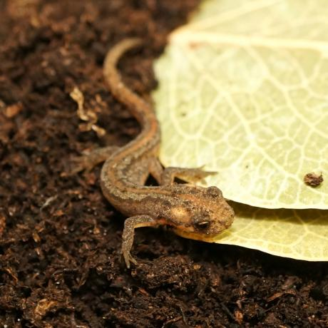 Northern Banded Newt
