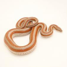 Rosy Boa (Lichanura trivirgata)