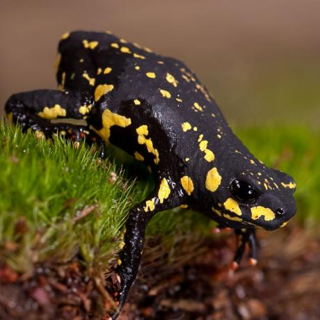 Bumble Bee Toad