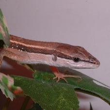 Asian Long Tailed Lizard (Takydromus sexlineatus)