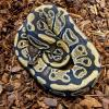Royal Python or Ball Python - het Clown/Pied (CB19) MALE
